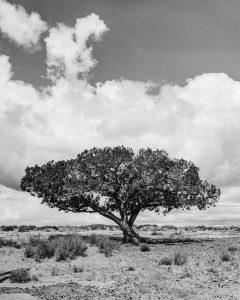 lone-tree-240x300 lone-tree