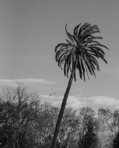BARCELONA-PALM-TREE-240x300 BARCELONA-PALM-TREE